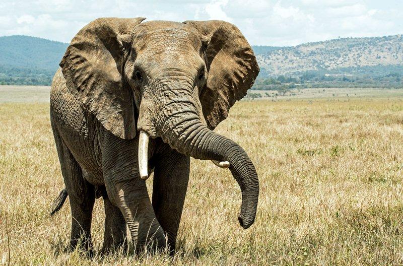 Gajah Afrika Diperkirakan Punah di Akhir Dekade Depan