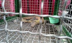 Polda Jatim Gagalkan Perdagangan 41 Ekor Komodo