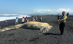 bbksda-jatim-teliti-bangkai-paus-yang-terdampar-di-lumajang