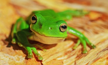 bakteri-di-kulit-katak-mampu-melindunginya-dari-penyakit