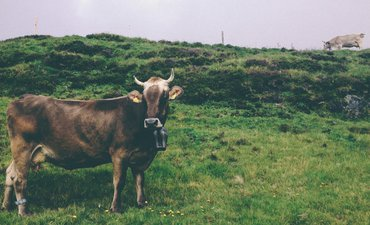 hentikan-penyebaran-antraks-ratusan-sapi-di-gunung-kidul-disuntik-antibiotik