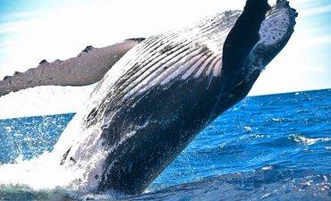 jepang-cabut-larangan-berburu-paus-setelah-berlaku-30-tahun