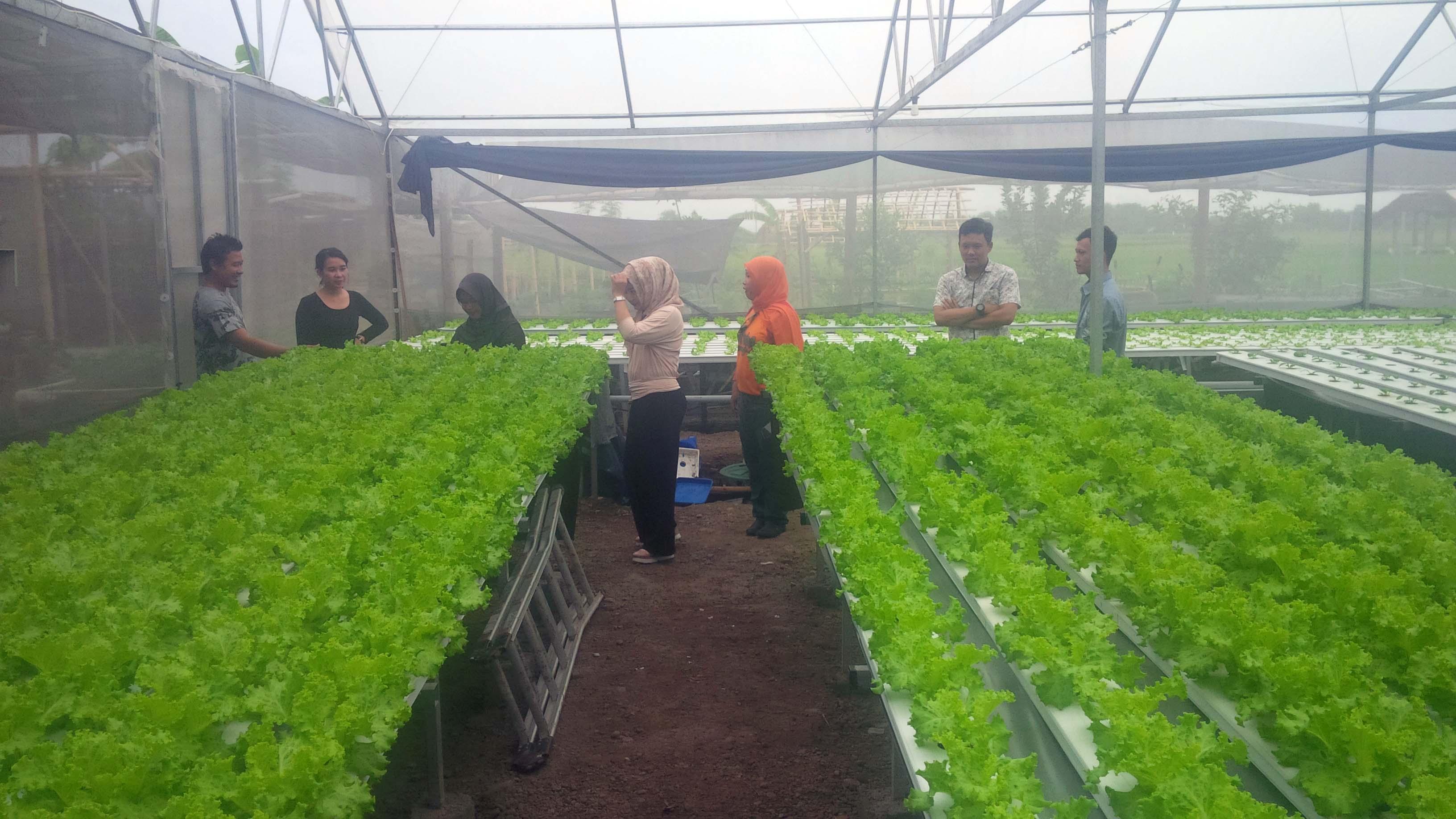 Sayur Premium Hidroponik Banyuwangi Masuk Pasar Elit