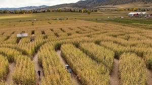 pemerintah-impor-100-ribu-ton-jagung-buat-pakan-ternak