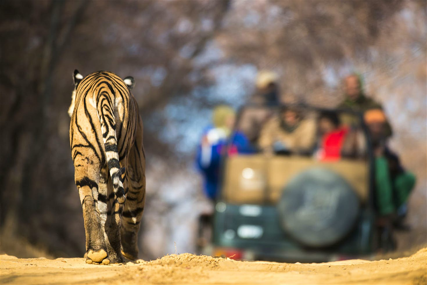 Ini Tempat Terbaik Melihat Harimau Bebas Berkeliaran