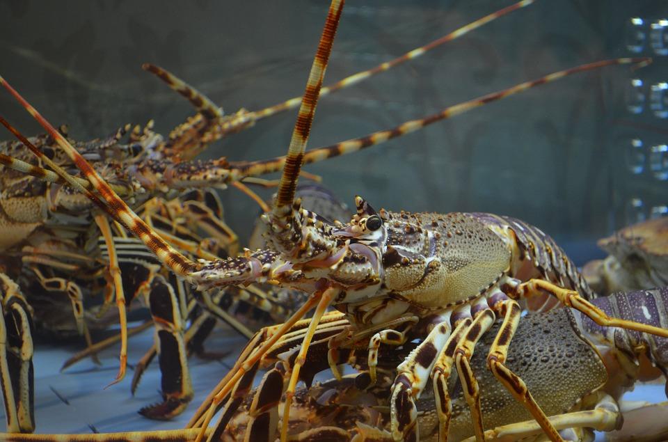 Pemerintah Gagalkan Penyelundupan Seratusan Ribu Benih Lobster di Batam
