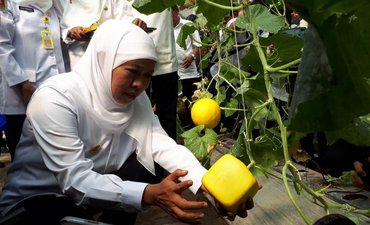 khofifah-panen-melon-golden-langkawi-berbentuk-persegi-di-sidoarjo