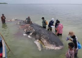 sampah-plastik-di-arlindo-bahayakan-migrasi-mamalia-laut