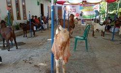 kontes-kecantikan-kambing-di-blitar-tingkatkan-kualitas-ternak