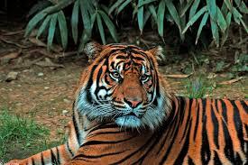 Harimau Terjebak di Pasar Berhasil Dievakuasi