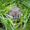 Hama Tikus Serang 74 Hektare Sawah di Madiun