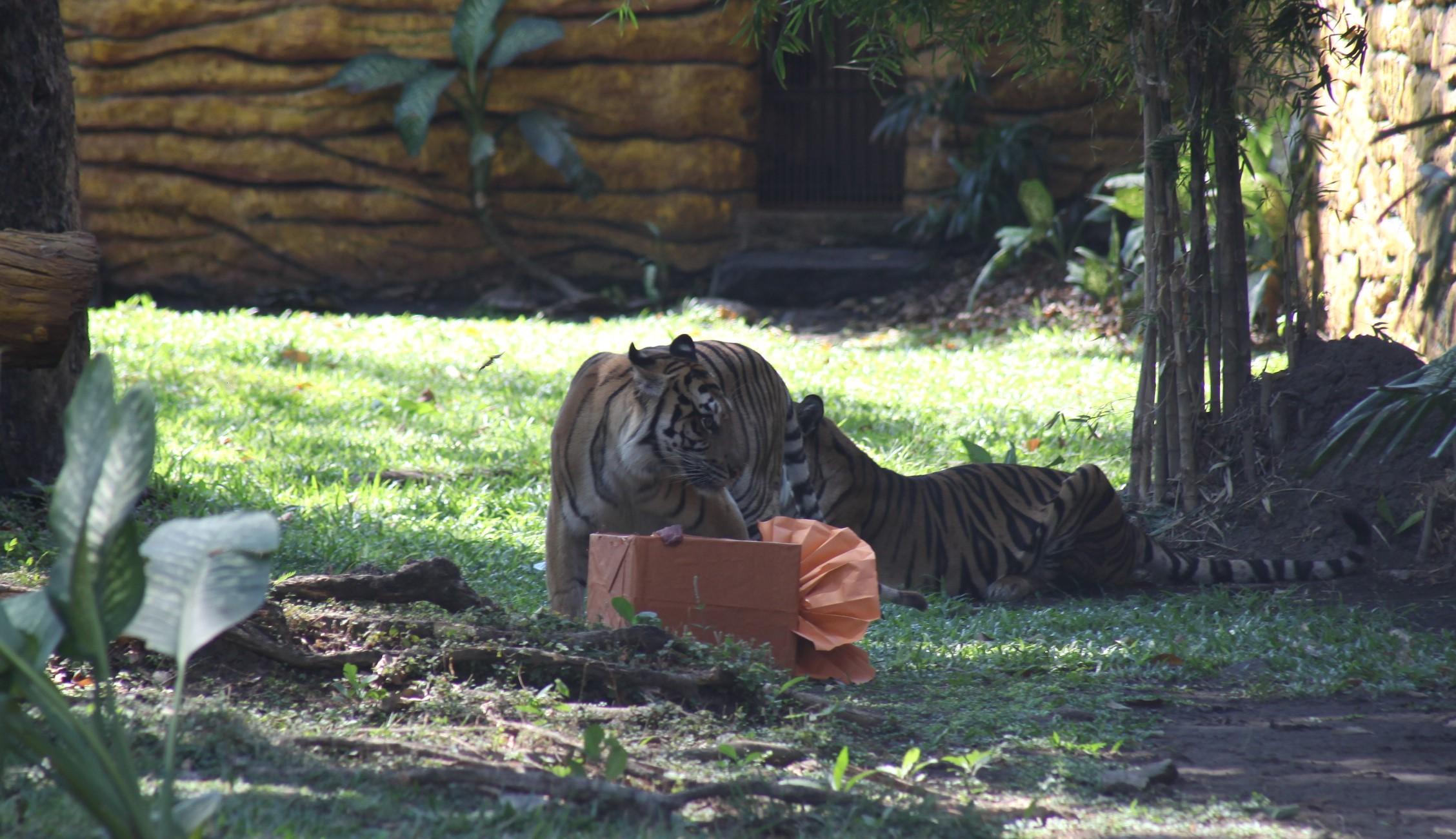Daging Segar Jadi Kado Ultah Tiga Harimau Sumatera